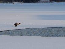 Дикая утка летания Стоковые Фото