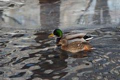 Дикая утка - заплывание кряквы на озере стоковые изображения rf
