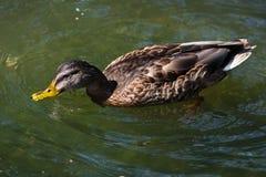 Дикая утка заплывания Стоковая Фотография RF