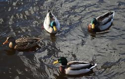 Дикая утка или кряква, platyrhynchos Anas, пары заплывания в озере Стоковое Изображение