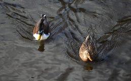 Дикая утка или кряква, platyrhynchos Anas, пары заплывания в озере Стоковые Фото