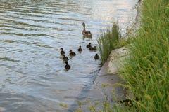 Дикая утка и утята плавая около зеленой травы Стоковые Фото