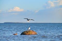 Дикая утка и чайки вокруг камня в Балтийском море Стоковое Изображение