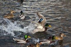 Дикая утка - кряква на озере стоковая фотография rf