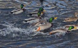 Дикая утка - кряква на озере стоковое фото rf