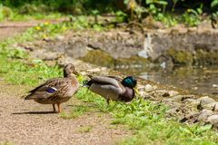 Дикая утка, мужчина и женщина на береге озера Стоковое фото RF
