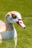 Дикая утка на воде Стоковое Изображение RF