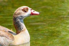 Дикая утка на воде Стоковое Изображение