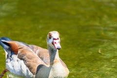 Дикая утка на воде Стоковые Изображения