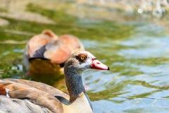 Дикая утка на воде Стоковые Изображения RF