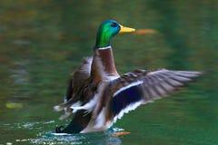 Дикая утка на озере Стоковое фото RF