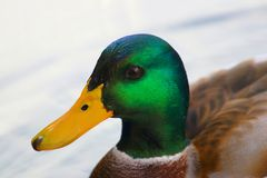 Дикая утка на озере Стоковые Фотографии RF