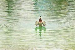 Дикая утка на озере Стоковые Изображения RF