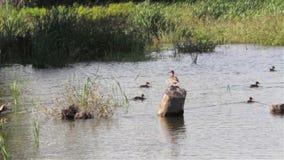 Дикая утка на озере сток-видео
