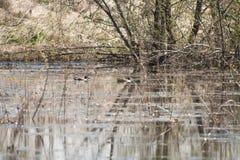 Дикая утка 2 на пруде Стоковое Фото