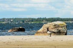 Дикая утка на пляже Стоковая Фотография
