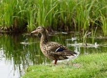 Дикая утка оставаясь на речном береге около реки Стоковые Изображения