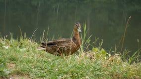 Дикая утка очищает пер на озере видеоматериал