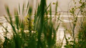 Дикая утка плавает в озере и ныряет его голова под водой, слепимость солнца акции видеоматериалы