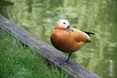 Дикая утка прудом Стоковая Фотография