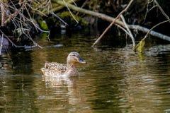 Дикая утка плавая на реку вдоль берега Стоковые Изображения RF