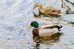Дикая утка плавая на реку вдоль берега Стоковое Фото