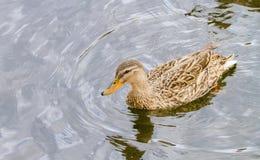 Дикая утка плавая на реку вдоль берега Стоковое Изображение RF
