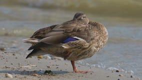 Дикая утка расслабляется на берегу озера Балатон Венгрии сток-видео