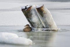 Дикая утка сидя в укрытии на льде стоковое изображение rf