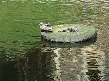 Дикая утка сидя на камне в середине озера Художническое фото дикой утки Утка и славные отражения на воде на солнечной сумме Стоковые Изображения