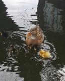 Дикая утка с цыпленоками Стоковые Фото
