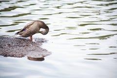 Дикая утка Стоковое Изображение RF