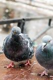 Дикие голуби Columba Livia Domestica стоковая фотография rf