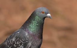 Дикие голубь/голубь Columba Livia утеса стоковые изображения