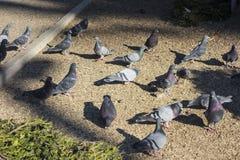 Дикие голуби в парке Стоковое Изображение RF