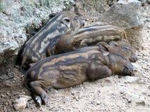 Дикие кабаны младенца спать на том основании стоковые фотографии rf