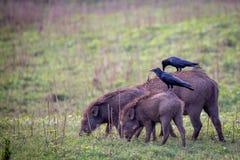 Дикие кабаны при вороны джунглей сидя на их Стоковая Фотография