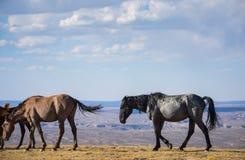 Дикие лошади Брайн и чернота Стоковые Фото
