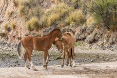 Дикие лошади воюя в пустыне Аризоны Стоковые Изображения RF