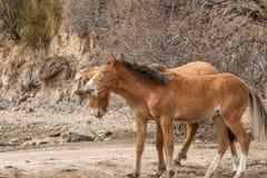 Дикие лошади воюя в пустыне Аризоны Стоковое Фото