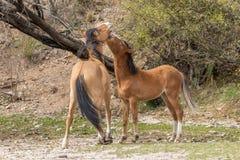 Дикие лошади воюя в пустыне Аризоны Стоковое фото RF