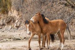 Дикие лошади воюя в пустыне Стоковые Изображения RF