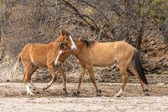 Дикие лошади воюя в пустыне Стоковое Изображение