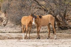 Дикие лошади воюя в пустыне Стоковое Изображение RF