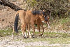 Дикие лошади воюя в пустыне Стоковые Фотографии RF