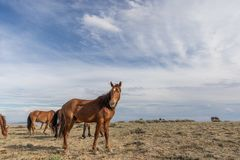 Дикие лошади в высокой пустыне стоковые фотографии rf