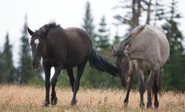 Дикие лошади в Монтане США - молодой черный жеребец и молодой серый жеребец Grulla в дикой лошади гор Pryor выстраивают в ряд Стоковое Изображение RF