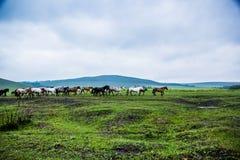 Дикие лошади в природ-Китае стоковое фото rf