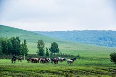 Дикие лошади в природ-Китае стоковое фото
