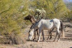 Дикие лошади в пустыне Аризоны Стоковая Фотография RF